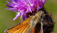 Small Skipper Butterfly on Hurst Meadows © Mick Rock