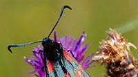 Six Spot Burnet Moth © Mick Rock