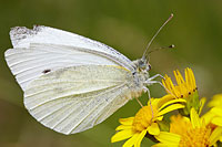 Small White on Ragwort © Mick Rock