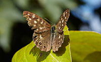 Speckled Wood on Hurst Meadows © Mick Rock