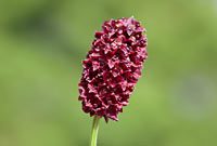 RARE  Great Burnet