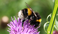 Bumble Bee on Hurst Meadows ©John Inglis