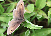 Meadow Brown on Hurst Meadows ©John Inglis