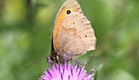 Meadow Brown Butterfly ©John Inglis